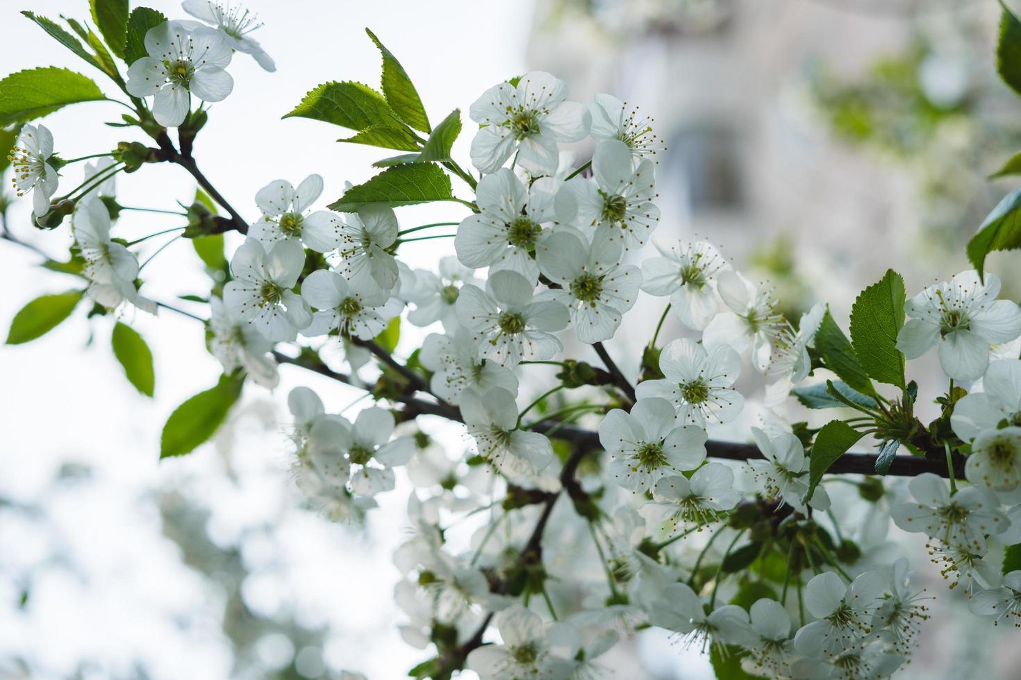 White cherry blossom tree photo