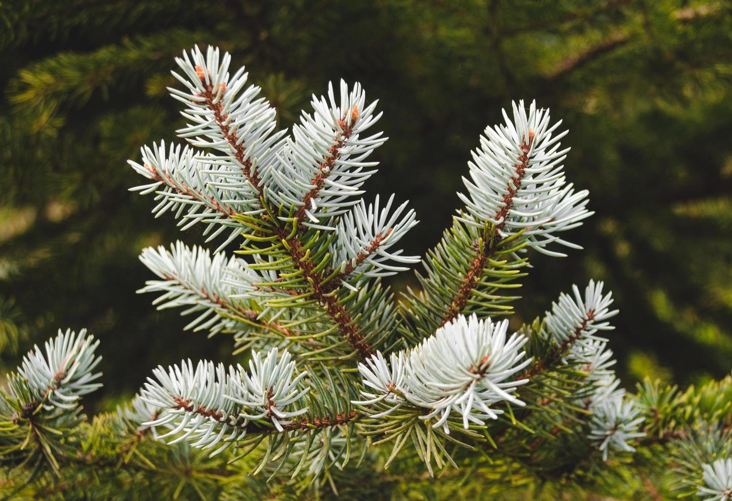Branch of a fir tree photo