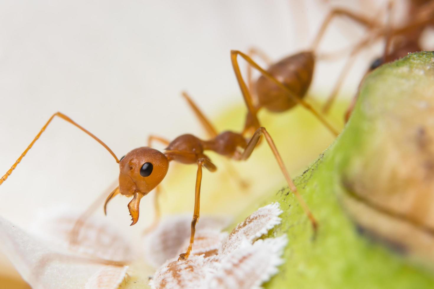 Macro red ants on plant photo