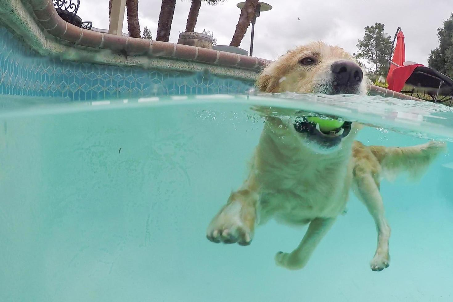 A Golden Retriever swimming in a pool photo