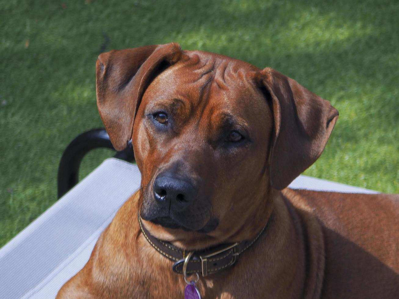 Rhodesian Ridgeback resting  on a lawn chair photo