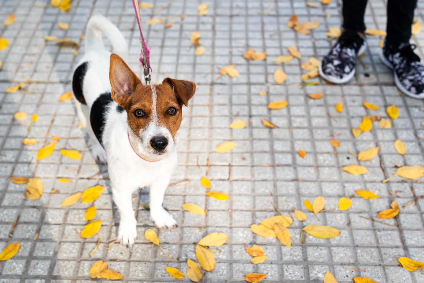 Jack Russell Terrier on a leash photo