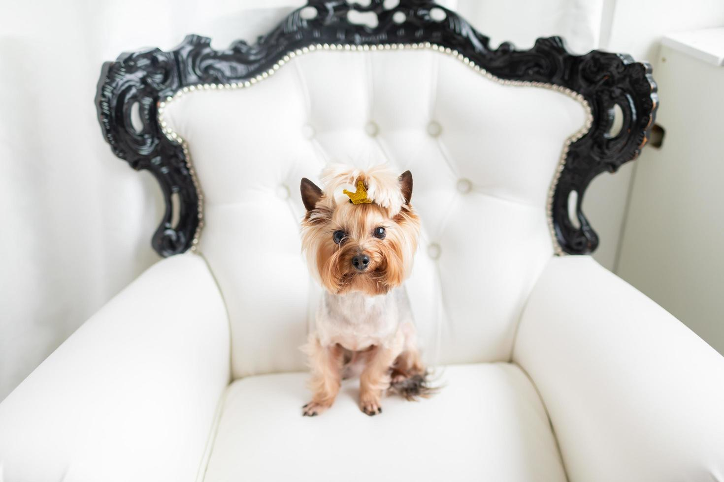 Yorkshire Terrier sitting on a chair photo