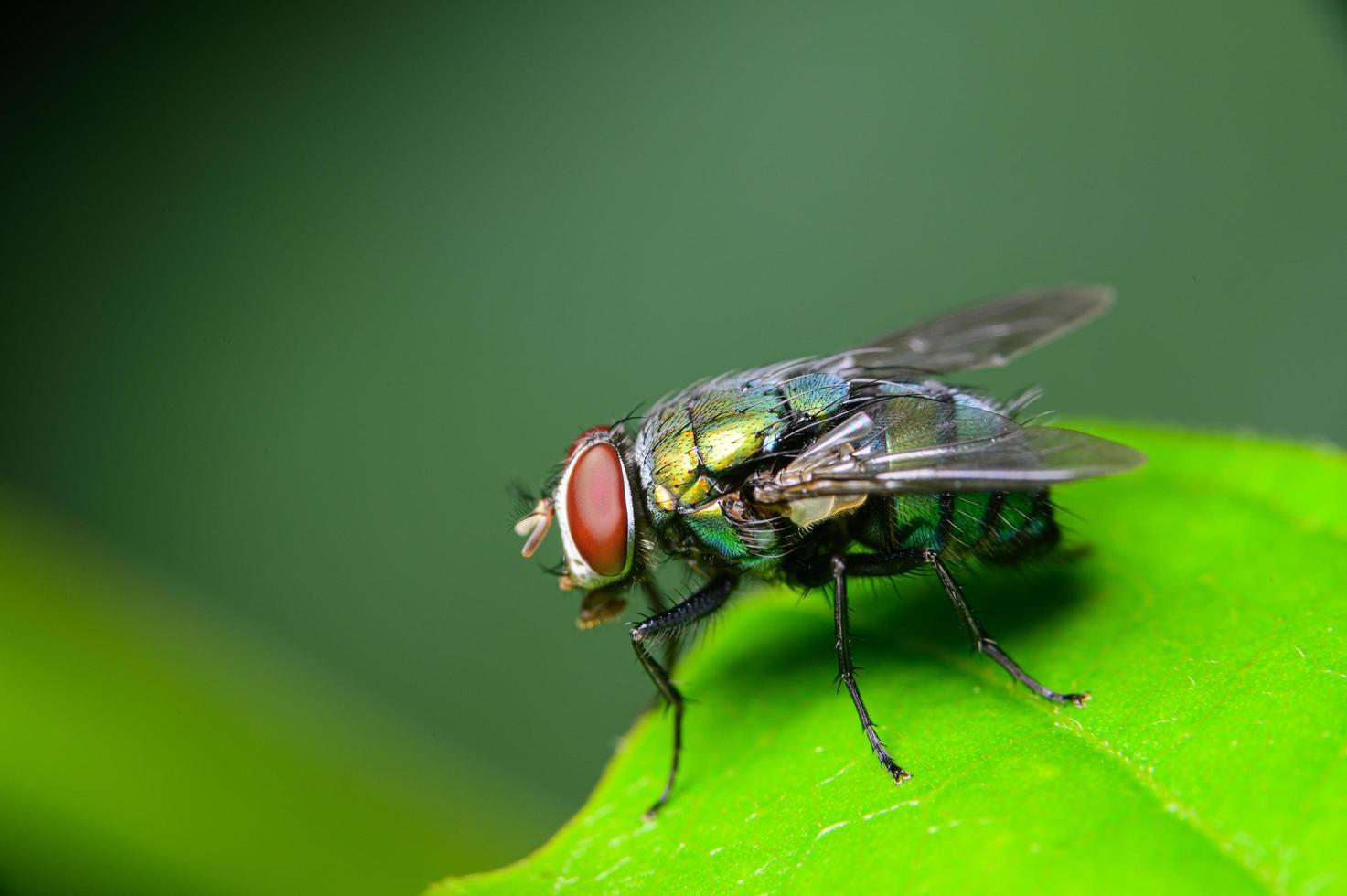 macro mosca chrysomya megacephala foto