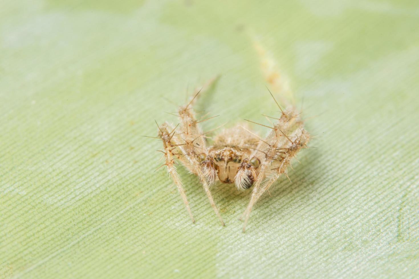 macro araña cruza la hoja foto