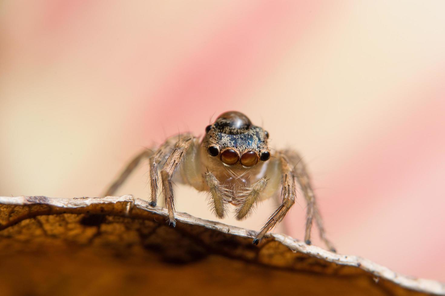 Macro spider on a leaf photo