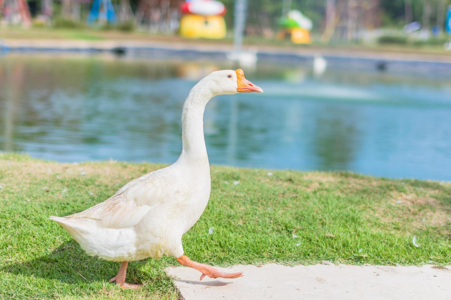 Goose in a zoo photo
