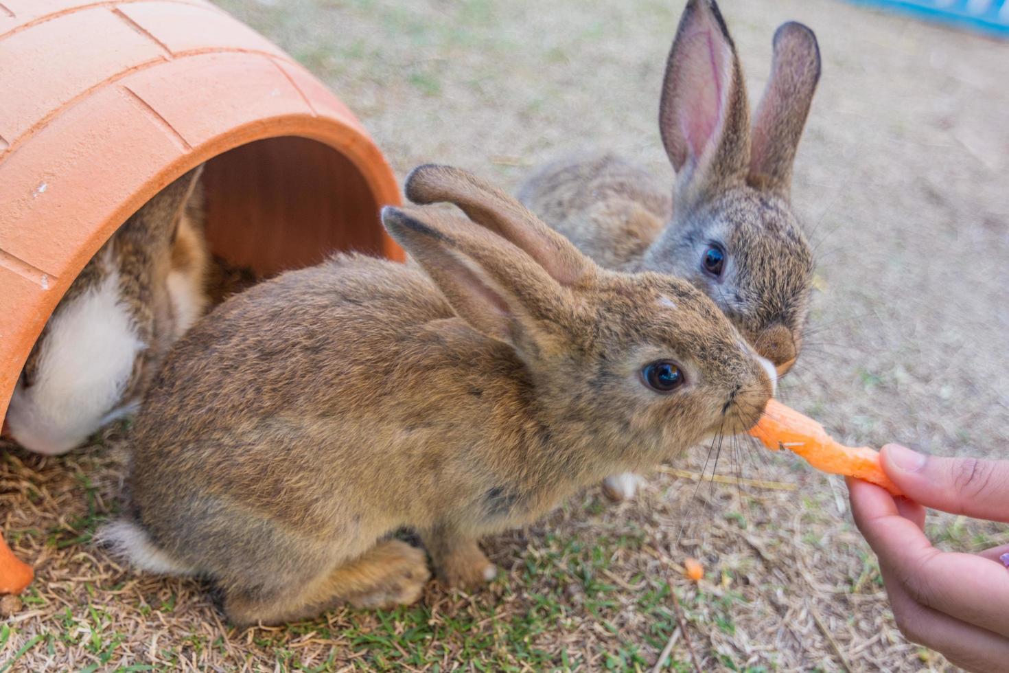 Rabbit eats carrot photo