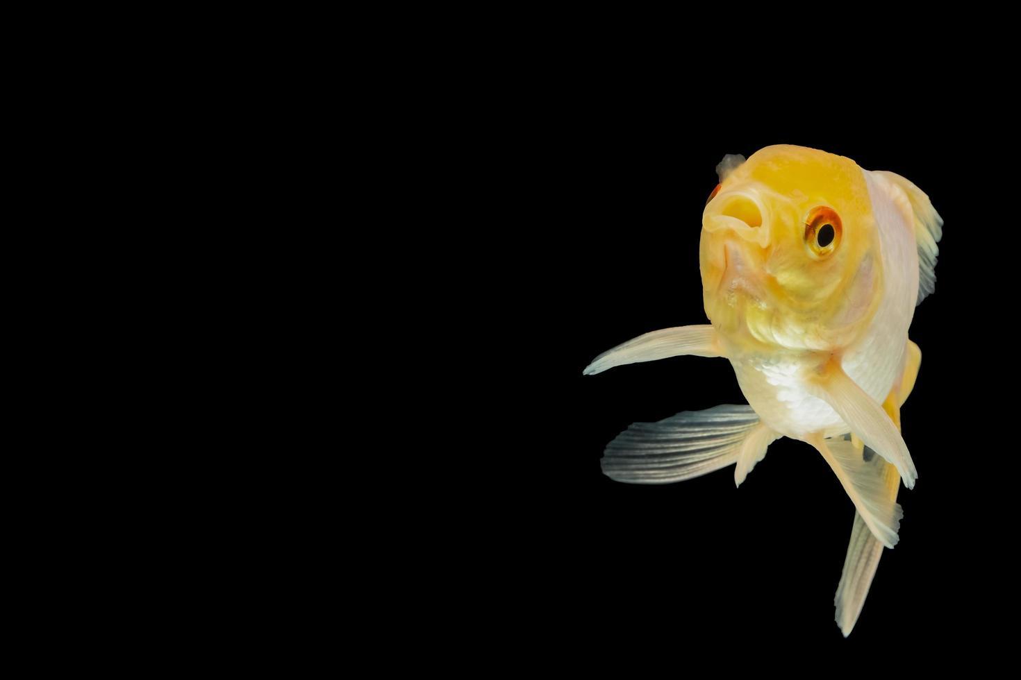 Macro white goldfish photo