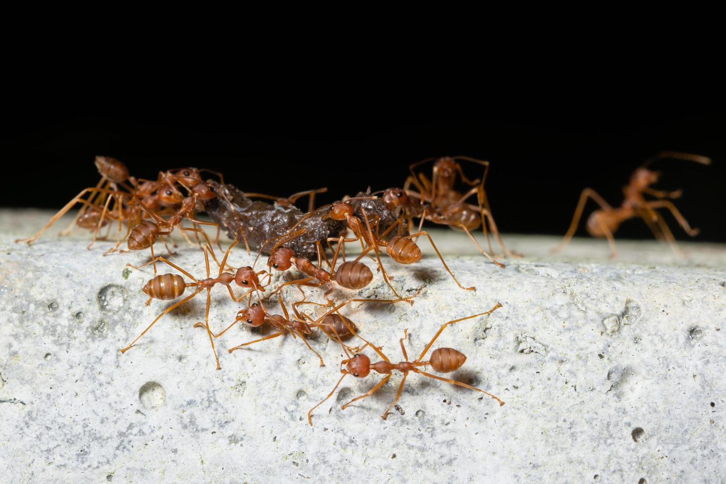 racimo de hormigas rojas foto