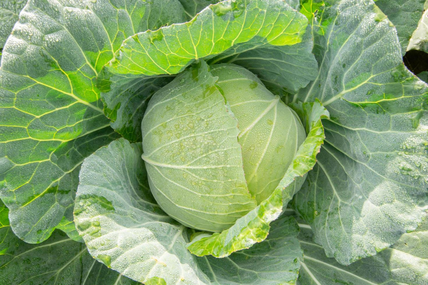 Fresh cabbage top view photo