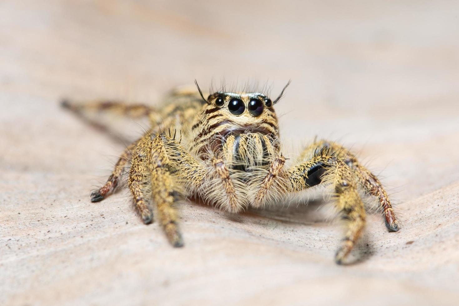 Yellow macro spider  photo