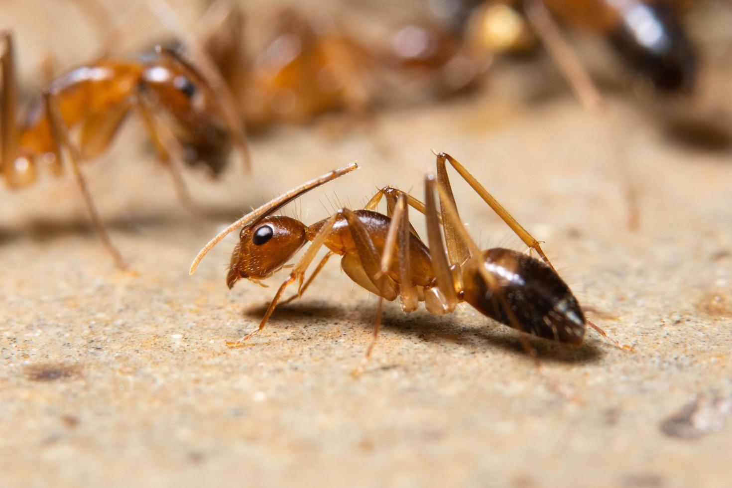 hormiga macro fantasma foto