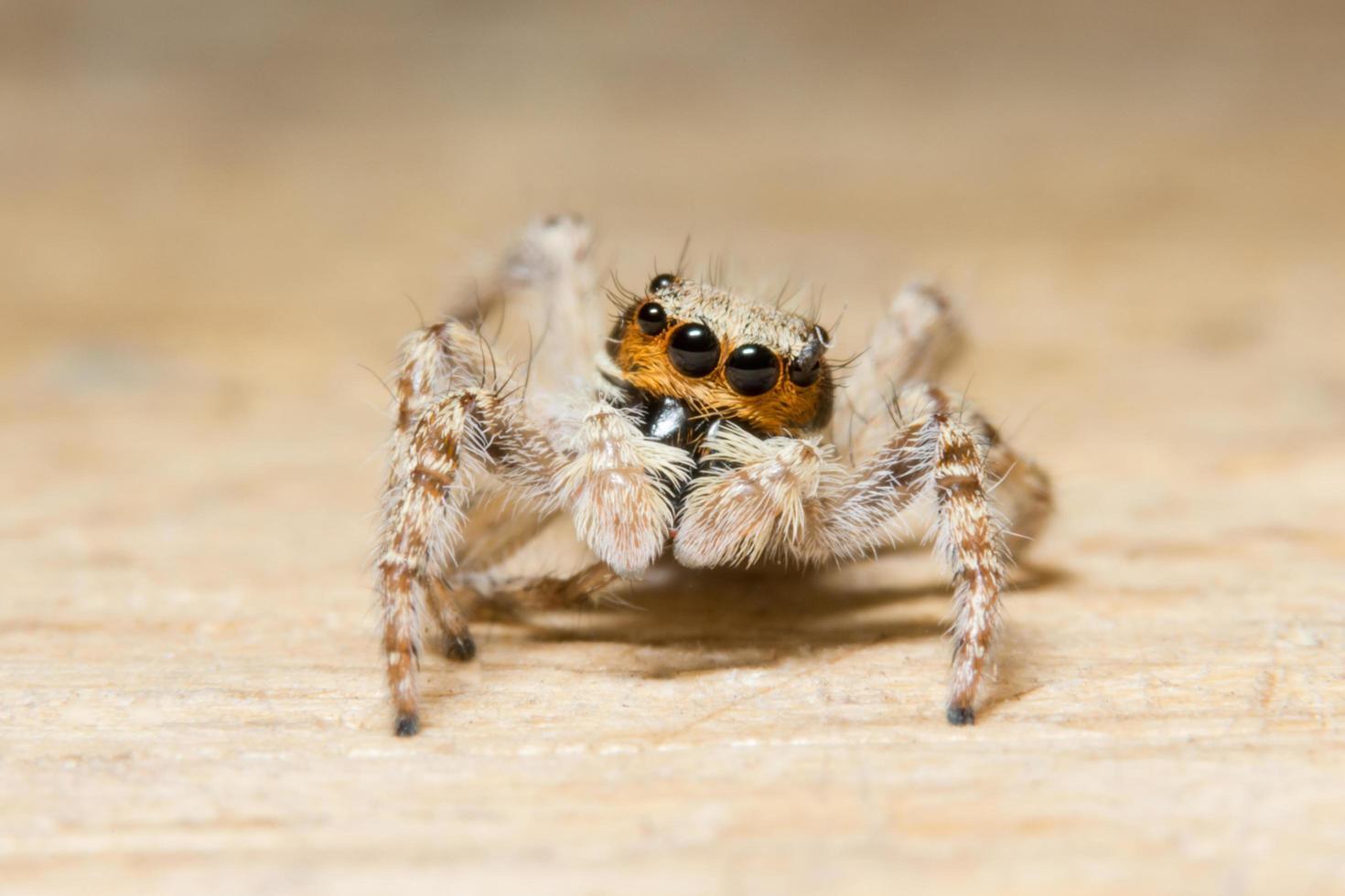 Macro spider on wood photo