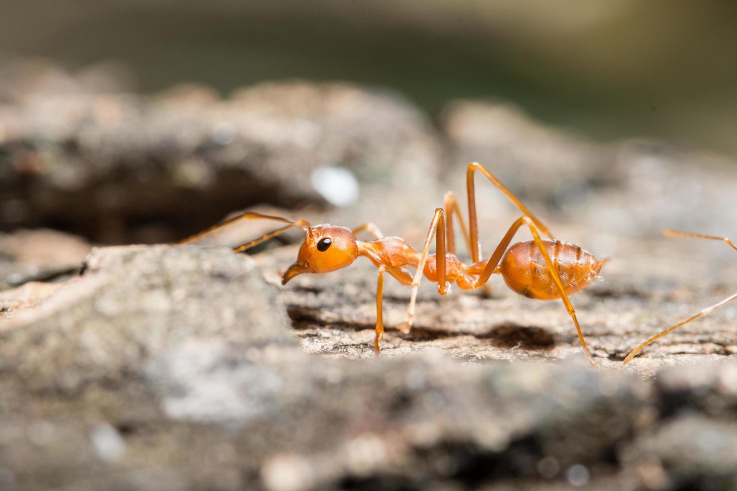 macro hormiga roja de cerca foto