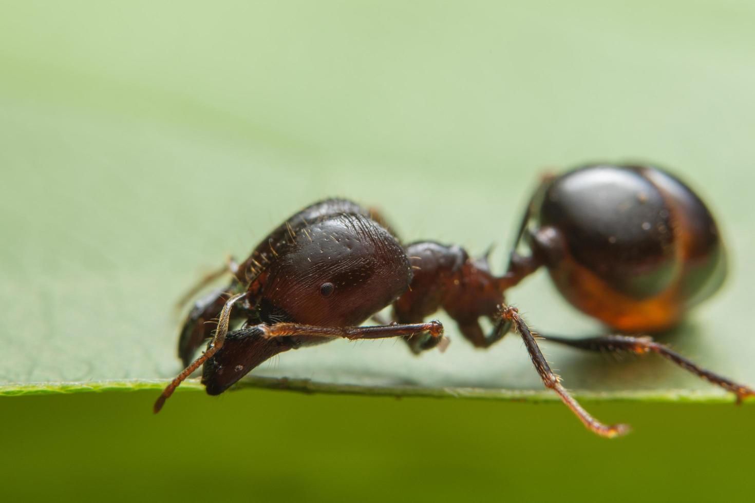 hormiga roja macro foto