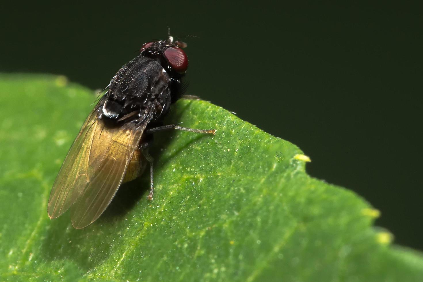 cierre sobre mosca de la fruta en el borde de la hoja foto