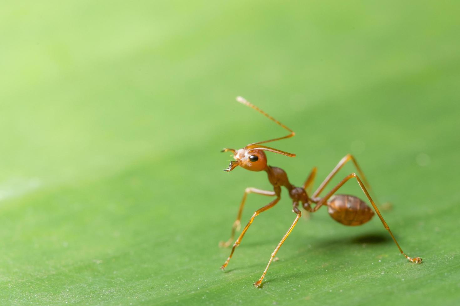 macro hormiga roja en la hoja foto