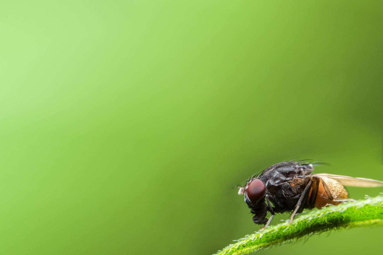 Close up of Drosophila on leaf photo
