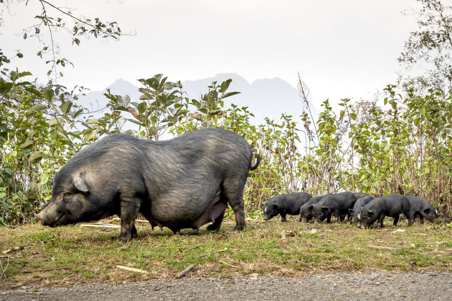 Vietnamese pot-bellied pigs photo