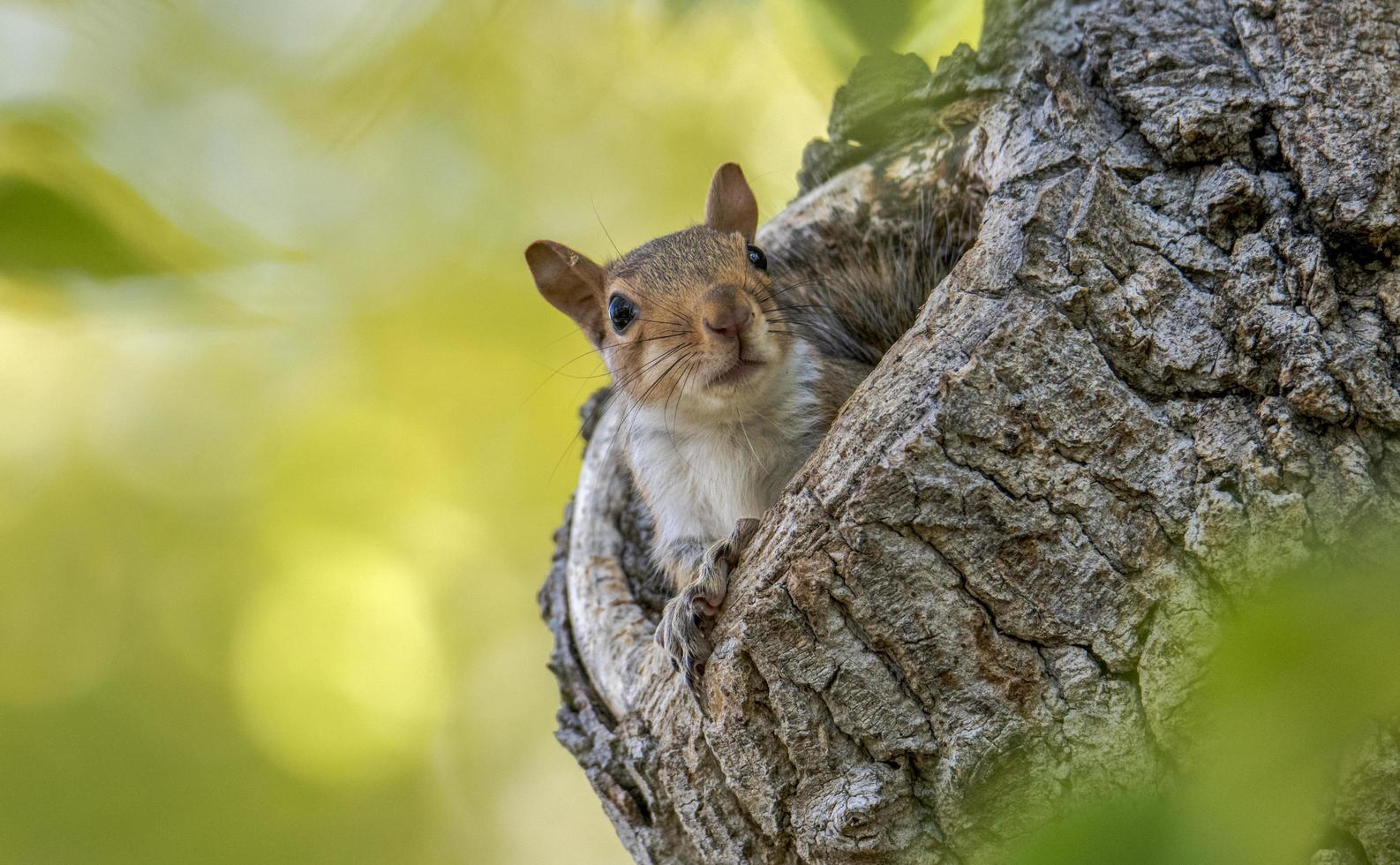 Squirrel in tree photo