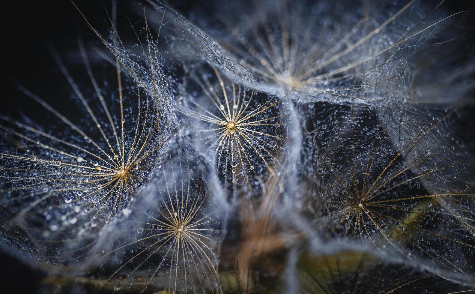 White dandelion seed head photo