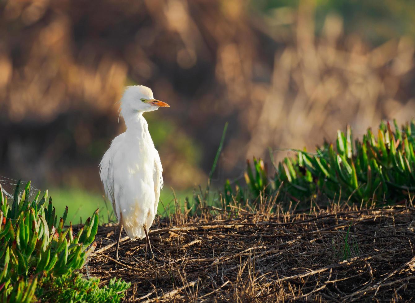 Selective focus of intermediate egret photo