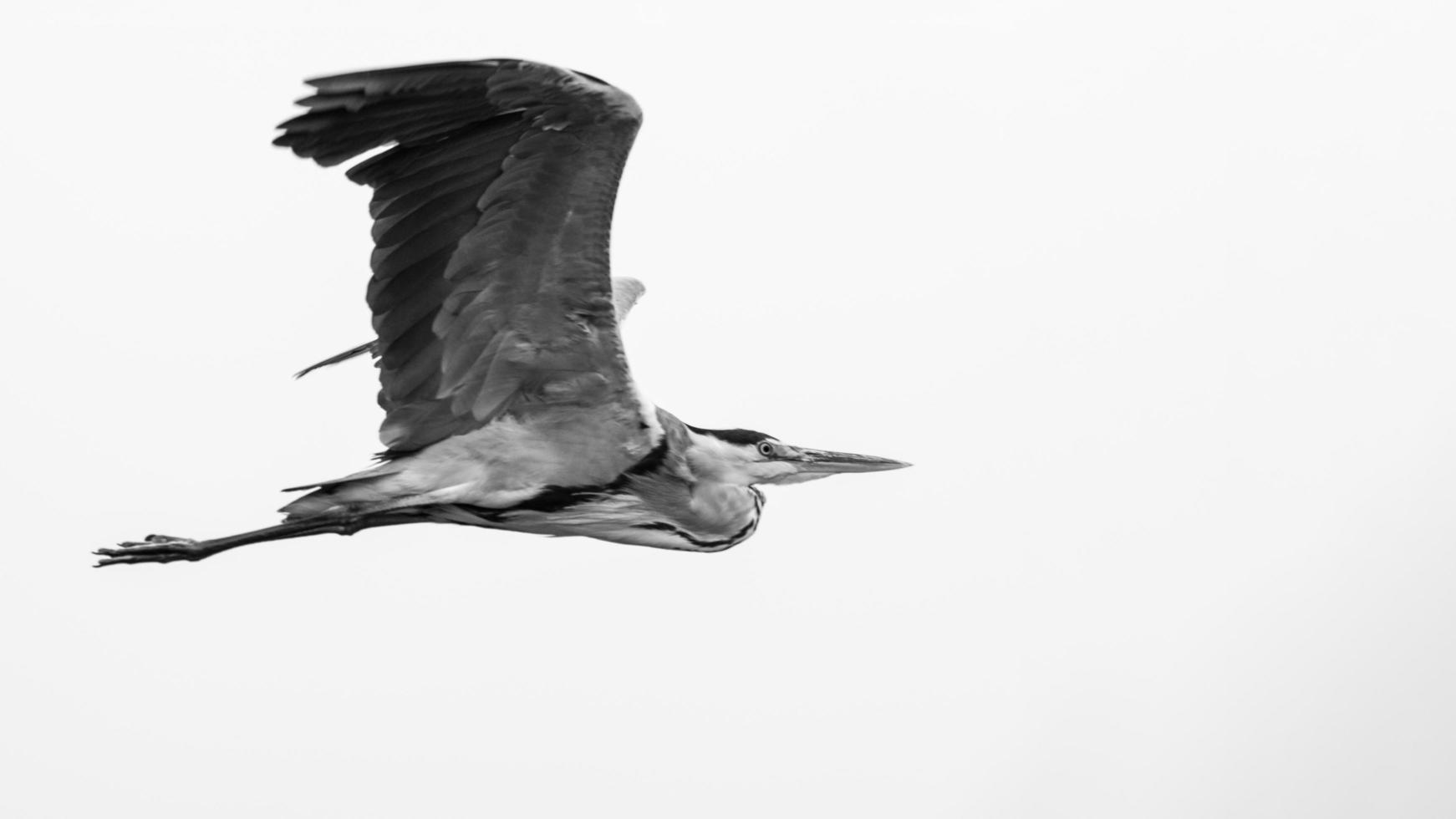 Grayscale of flying heron photo