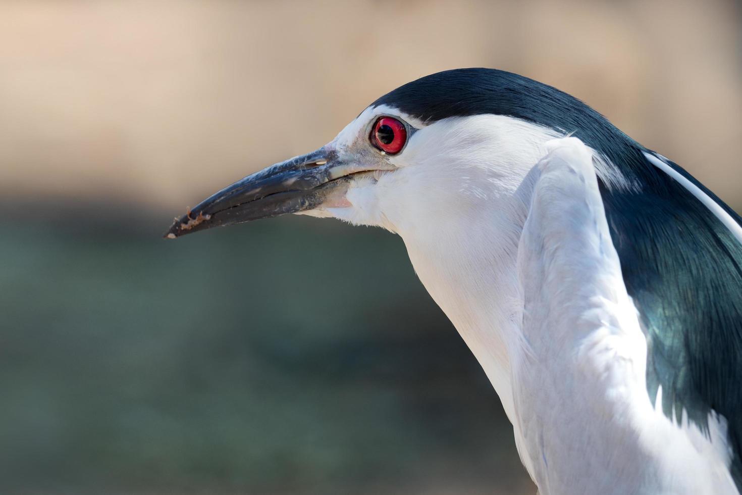Close-up of black-crowned night heron photo