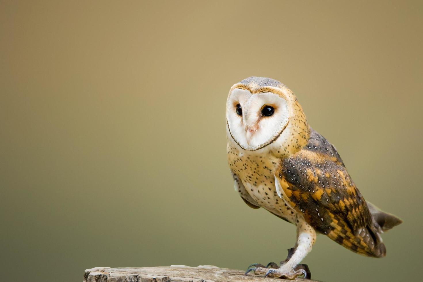 Brown owl on top of tree log photo