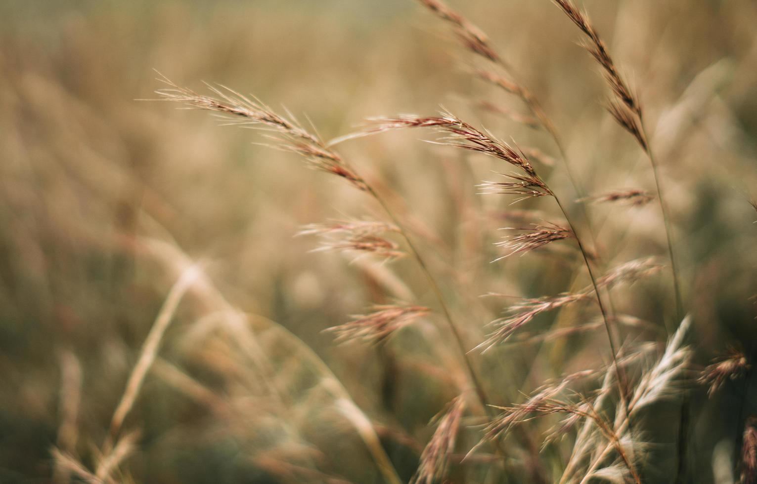 Afternoon light in wheat field photo