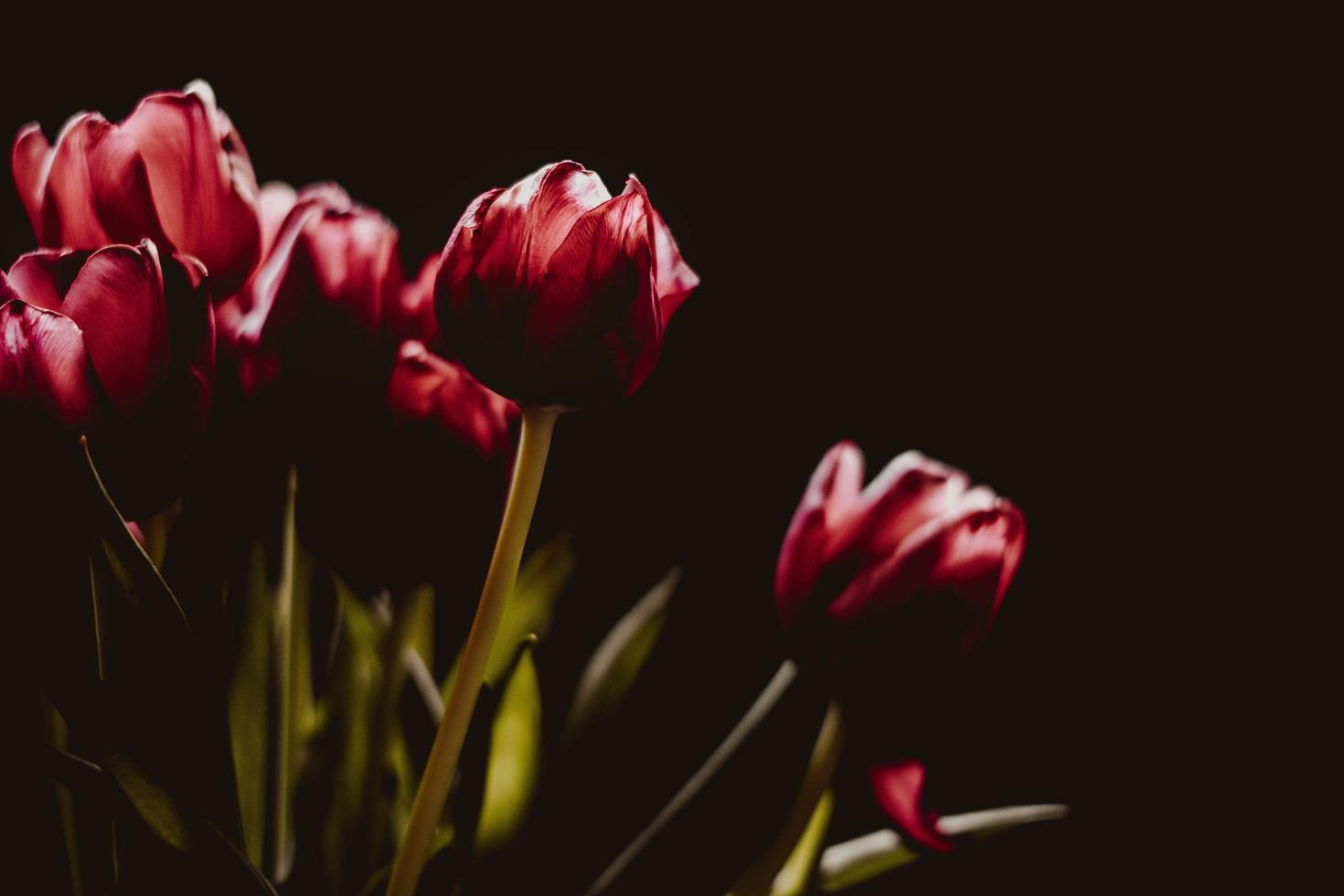 Red tulips on black background photo