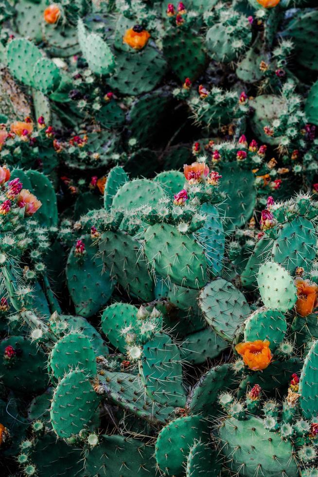 Flowering cactus plants photo