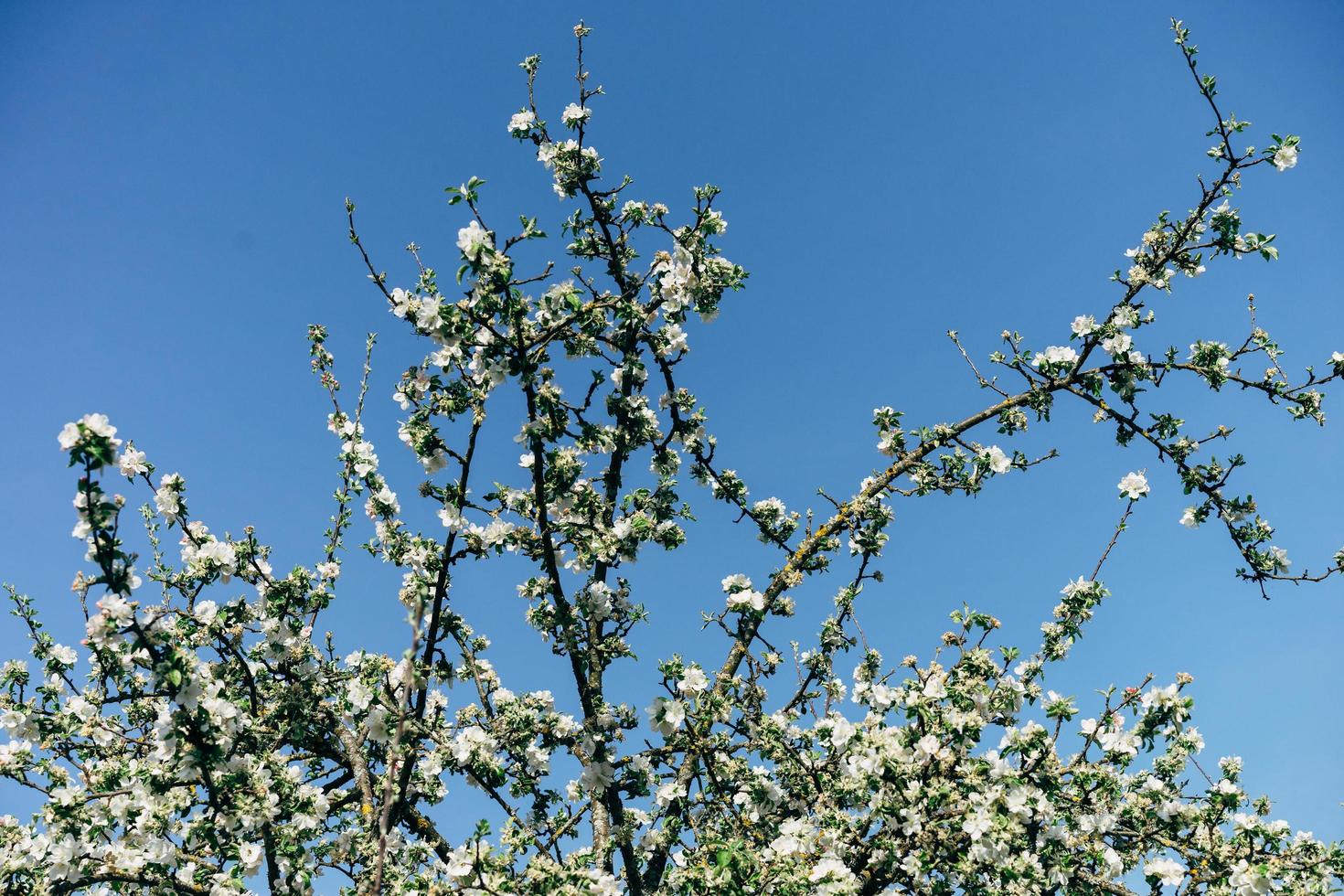 Apple blossoms and clear blue sky photo