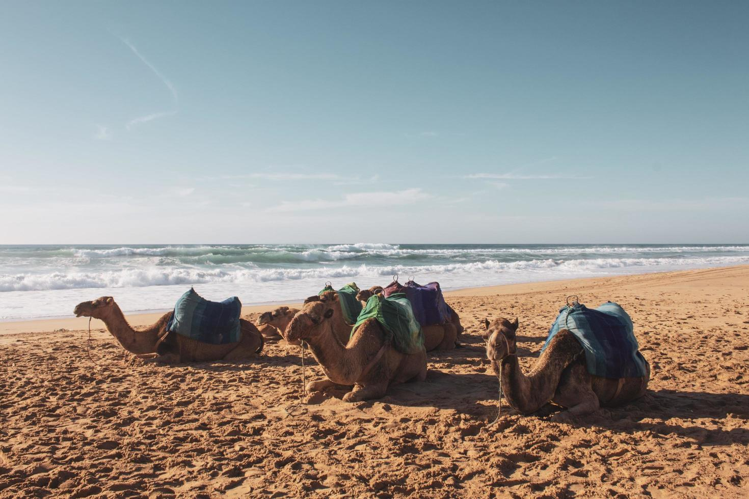 Group of camels on beach photo