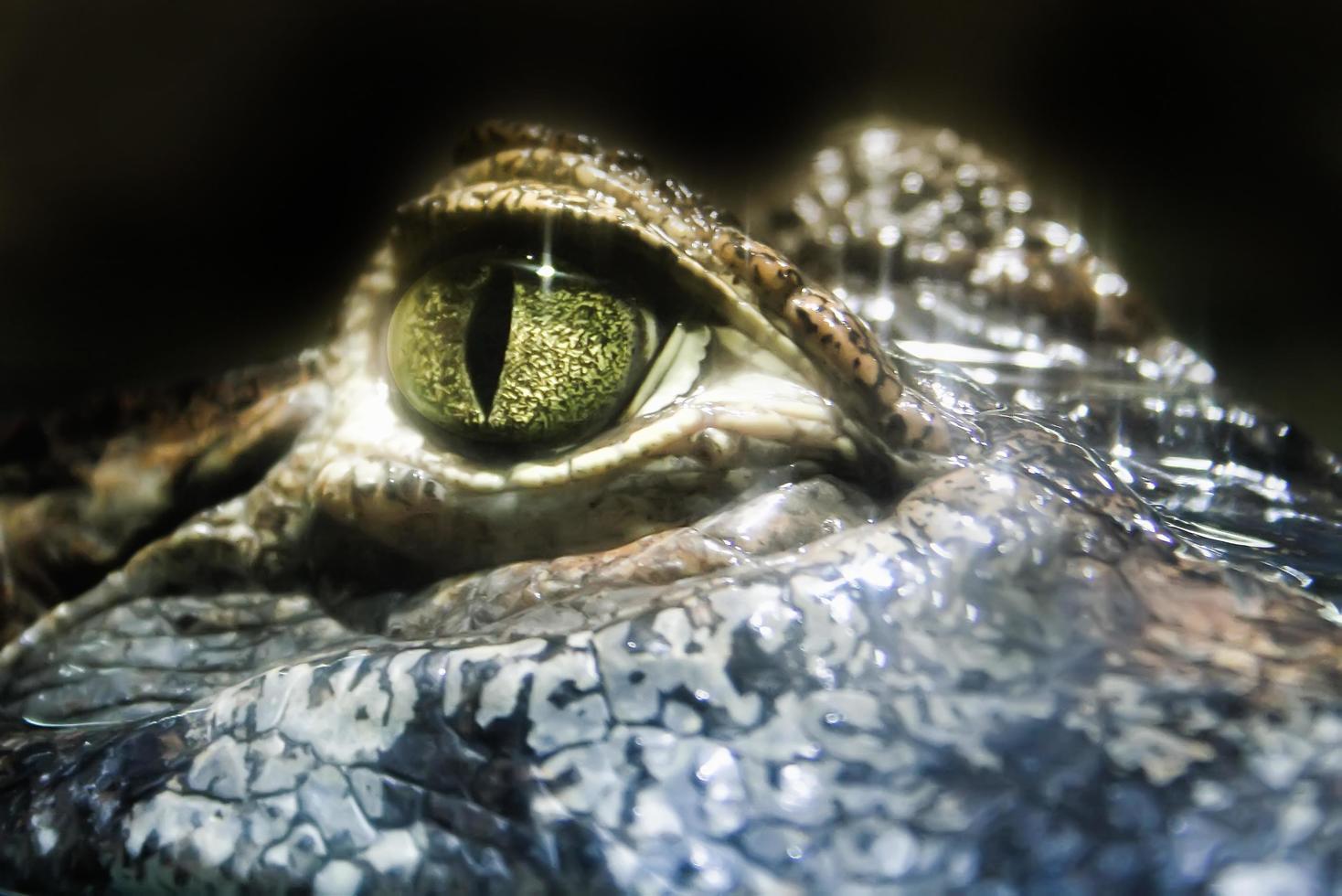 Macro crocodile eye photo