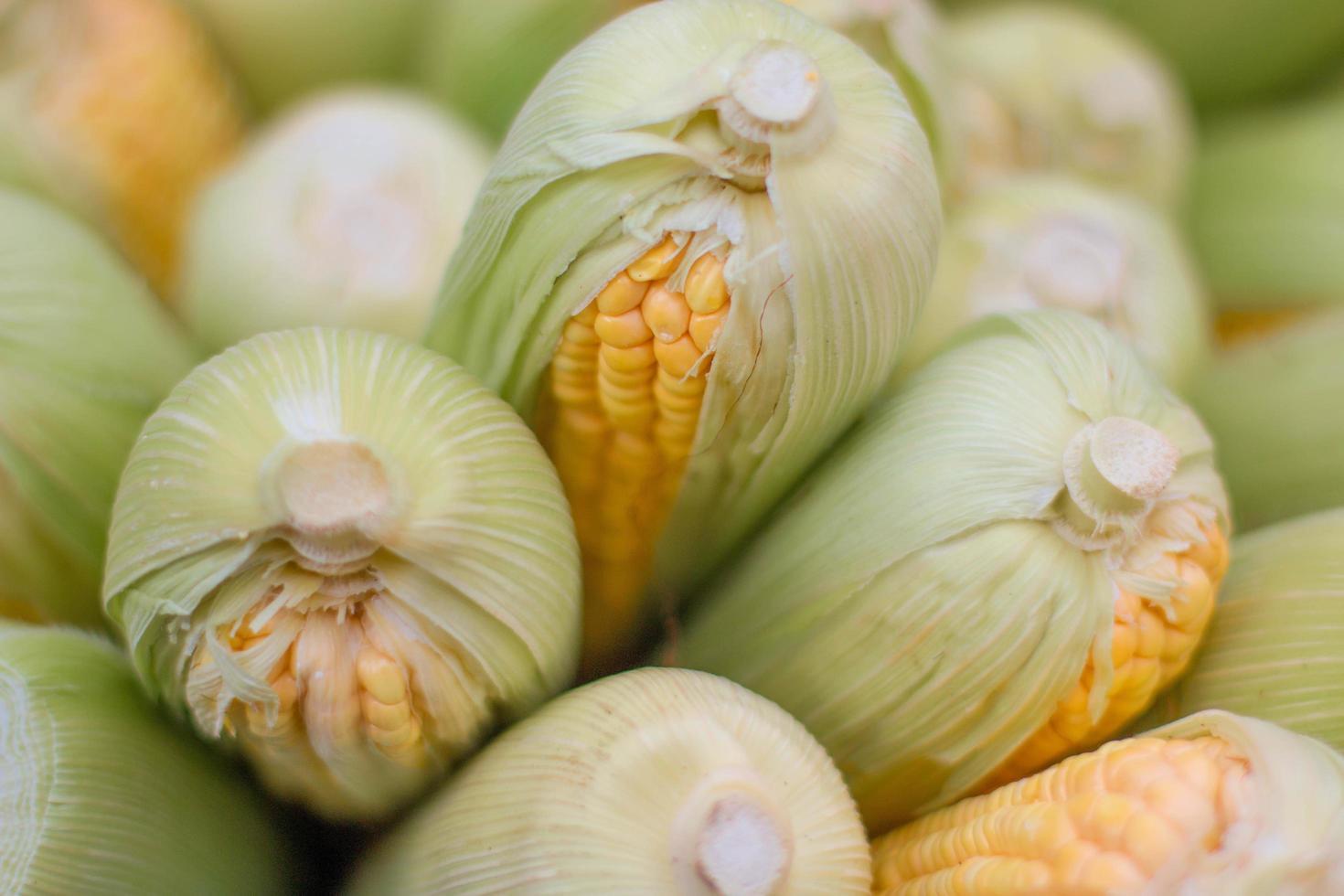 Yellow ears of corn photo