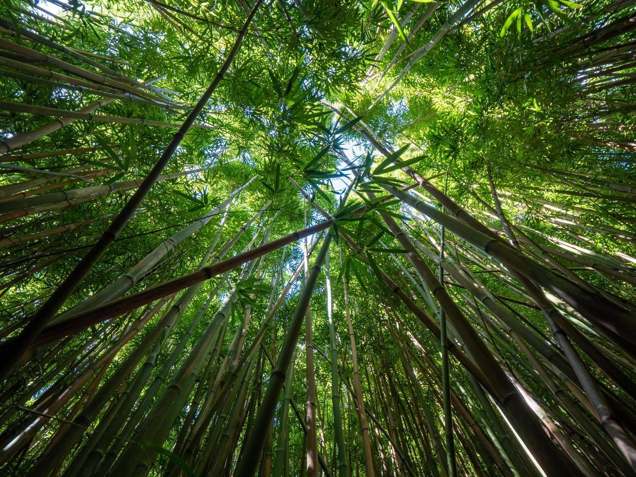 Looking up at bamboo and sky photo