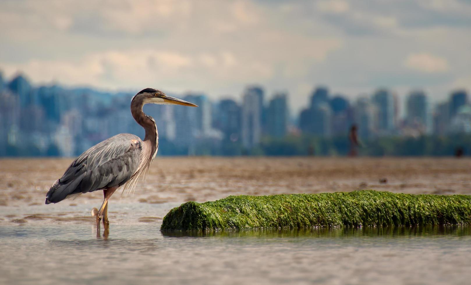 Great blue heron standing in water photo