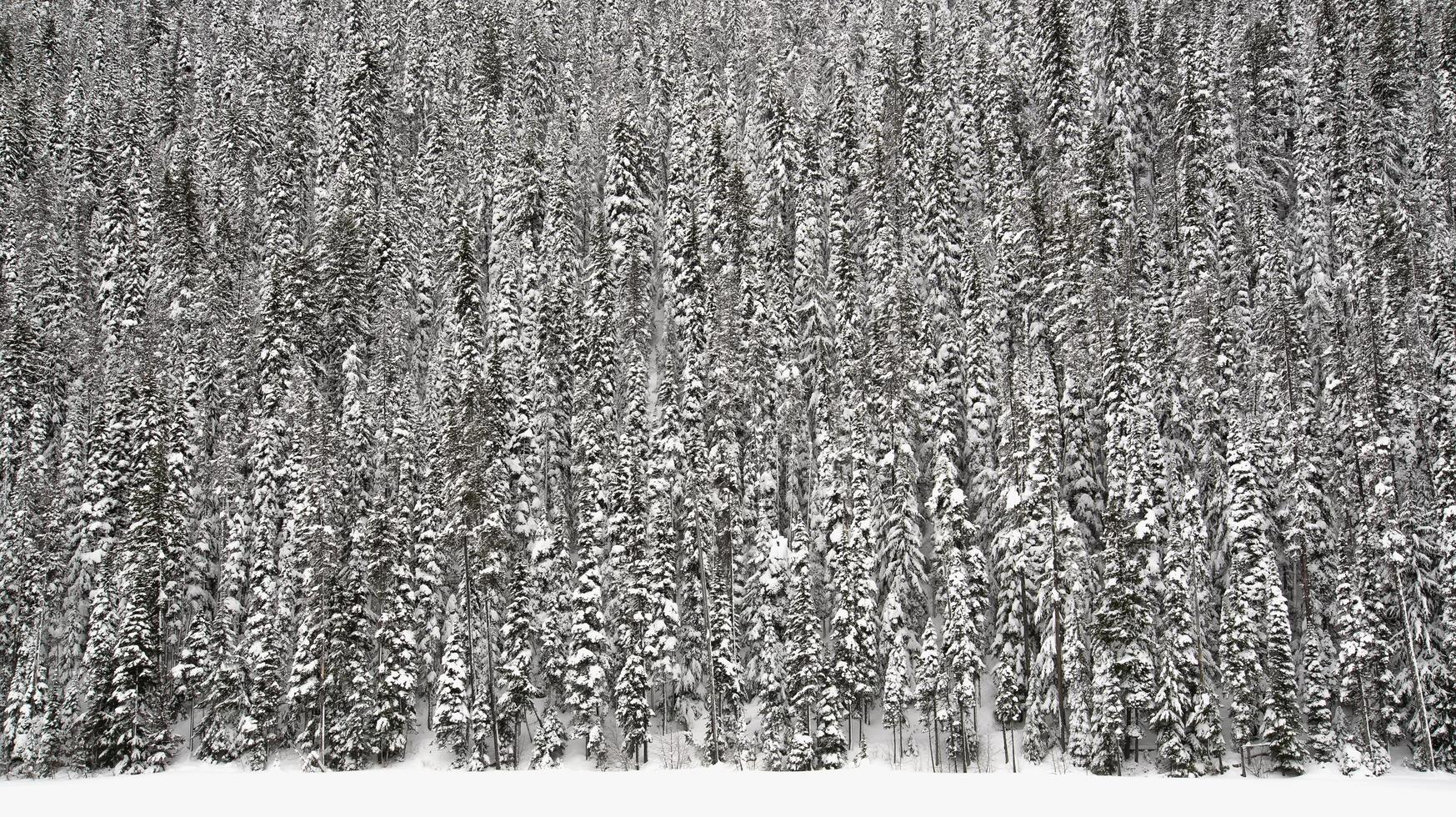 Fir tree forest in snow photo