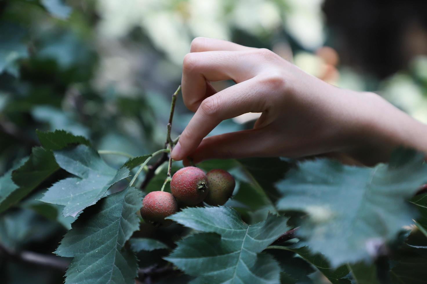 Close-up of person picking red berry photo