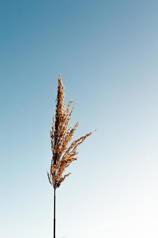 Brown grain plant photo