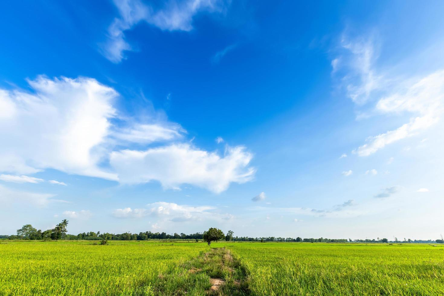 A walking path in a green cornfield leads to a set of trees photo