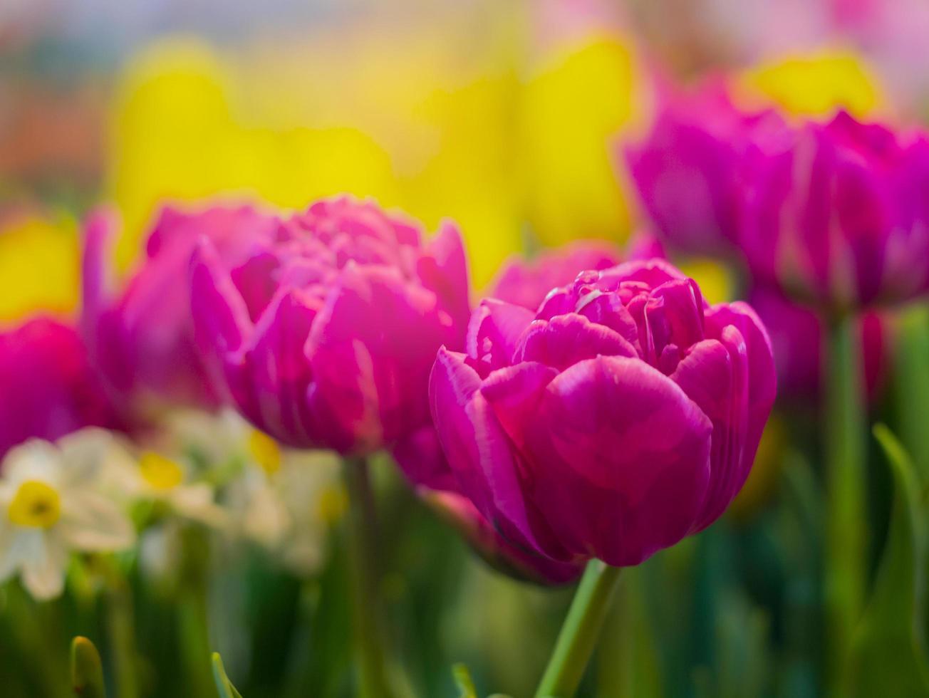 Tulips blooming in garden photo