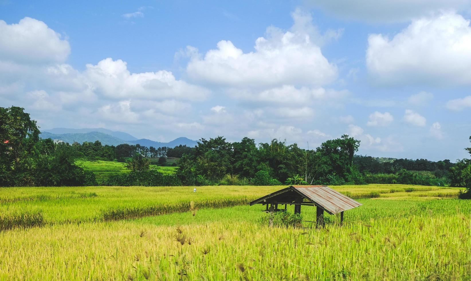 An old hut in the yellow- green rice field. photo