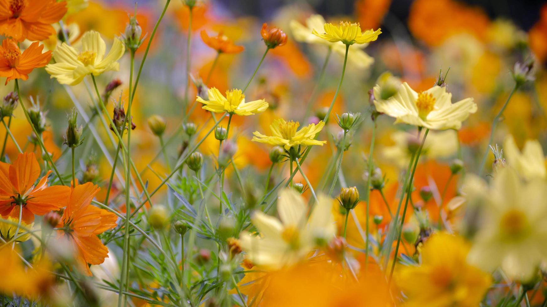 Cosmos flowers blooming in  garden photo