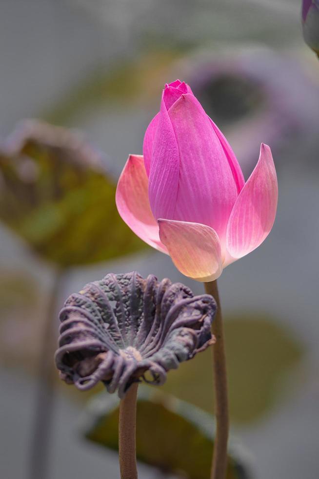 A single pink lotus flower photo