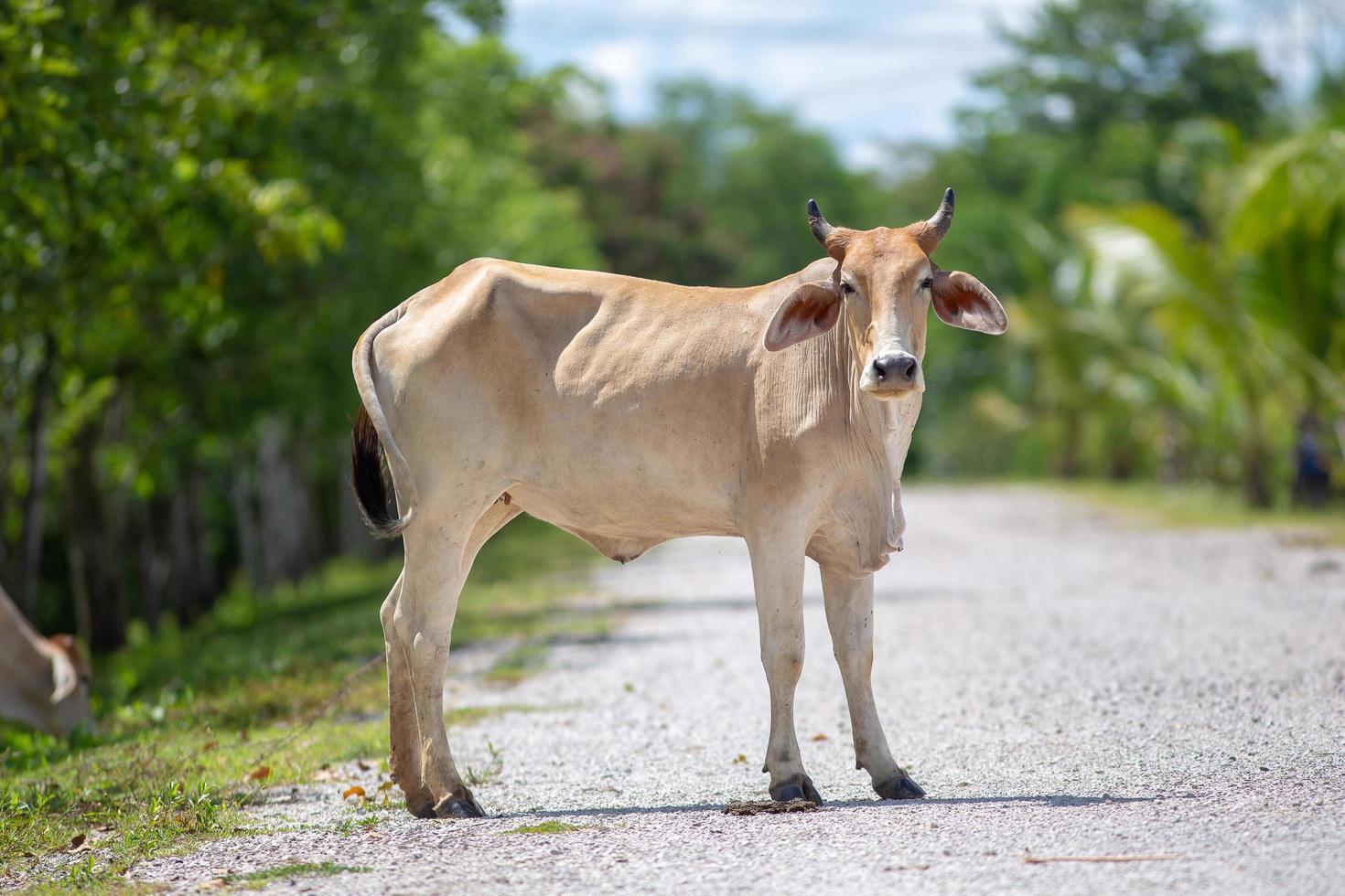 Rural Thailand cow photo