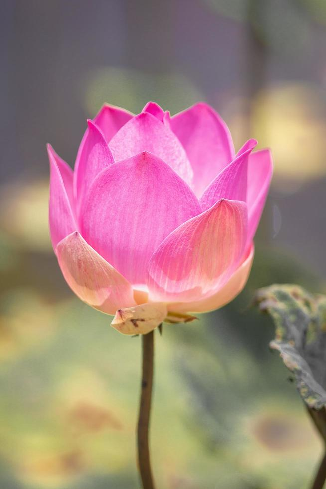 Pink Lotus flower and Lotus flower plants, selective color and focus photo