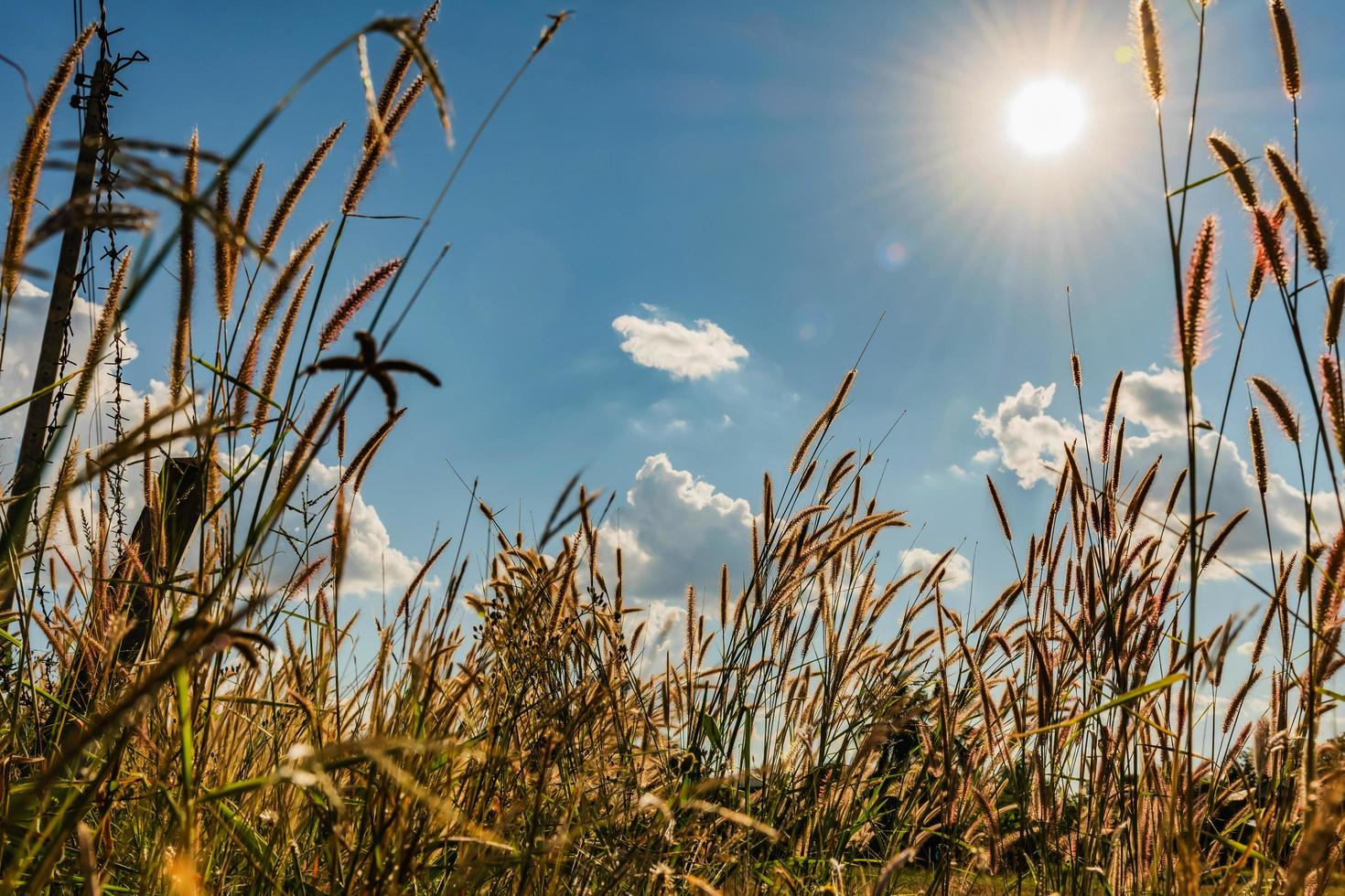 zon schijnt over een tarwegras veld foto